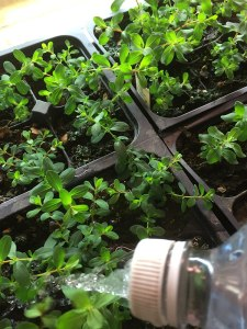 Watering St. John's Wort plants (plants for my refugia garden)