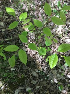 Small ash tree