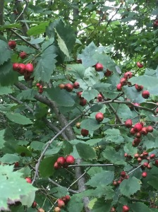 Hawthorn berries, full of medicine and life