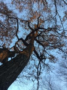 Oak at Samhuinn