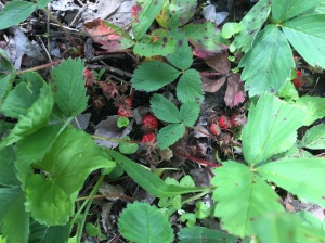 Wild strawberries - friend of humans!