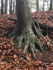 Roots of the Beech at the Winter Solstice