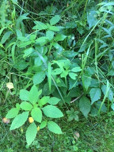 Jewelweed and Poison Ivy Like Each Other A Lot