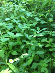 A patch of jewelweed along a damp forest path