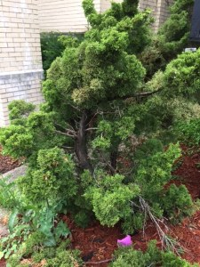 Amazing cultivated miniature juniper tree