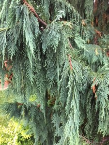 My friend the weeping cedar.