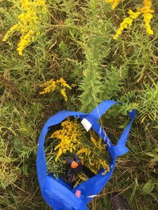 Harvesting Goldenrod for hydrosol preparation