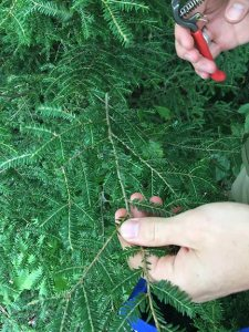 The Eastern Hemlocks are carefully cut and placed in a cloth bag for transport home.The Eastern Hemlocks are carefully cut and placed in a cloth bag for transport home.