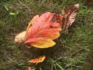 A center leaf of poison ivy, fallen to the ground