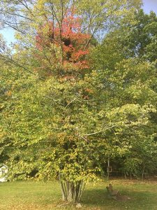 Poison Ivy (Red) in a maple and birch tree