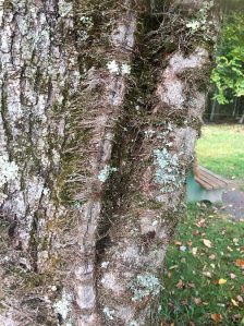 Old poison ivy vine
