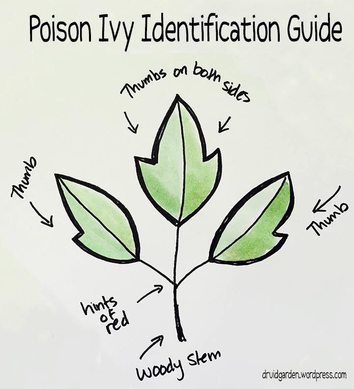 Garden City Jeep >> Poison Ivy Identification Guide Gallery - Diagram Writing Sample IDeas And Guide