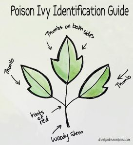 A guide to poison ivy identification