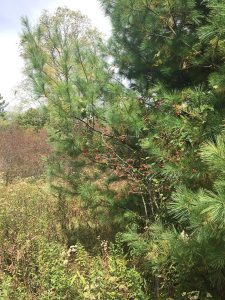 White Pine and Hawthorn: Allies for Healing and Peace