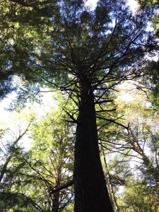 White Pine Towering in a Conifer Forest at Parker Dam State Park, PA