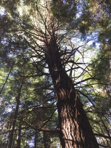 Towering White Pine, Parker Dam State Park, PA