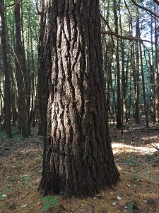 Beautiful trunk of White Pine