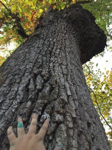Honoring the white oak (just realized this photo has me with paint on my hand from painting the art studio!)