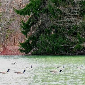 Ducks on the Water at Yellow Creek State Park (PA)