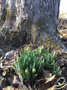 Not yet - Daffodils in March