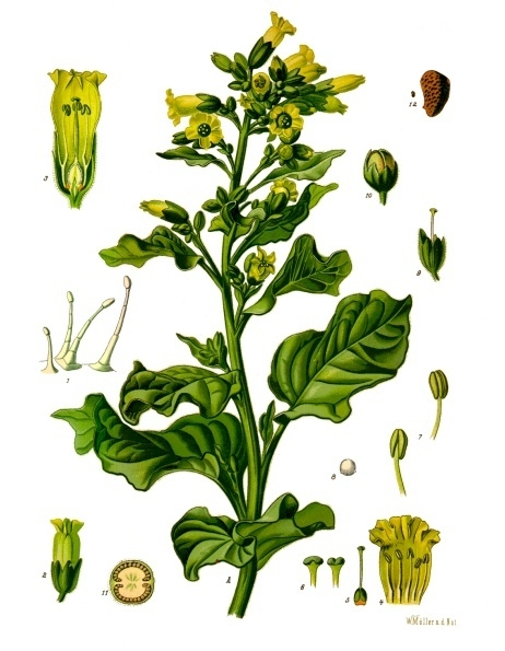 nicotiana rustica   The Druid\'s Garden