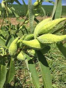 Abundant milkweed along a field