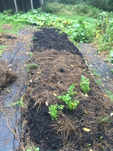Bed with roots cleared and a new layer of finished compost. The straw is where we just planted fall crops; the bare area is where we will plant cover crops.