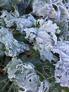 Kale loves the frost!