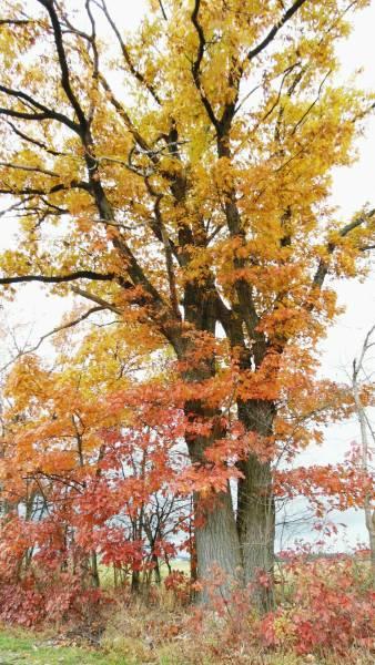 A glorious oak tree in fall colors!