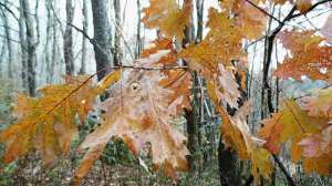 Oak leaves in late fall