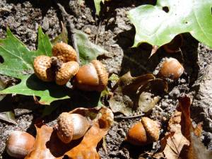 Acorns from the Tree of Life