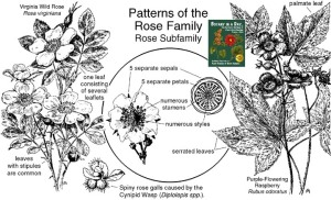 Wildcrafting Druidry: Getting Started in Your Ecosystem  Rosaceae