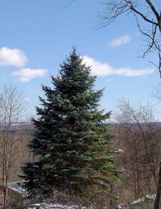 The beautiful blue spruce looking across the landscape