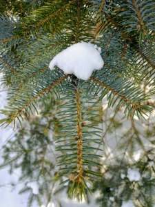 Close up of blue spruce in late winter