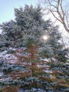 Blue spruce with sunlight!