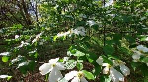 Dogwood in bloom!