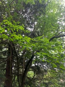 Juneberry in the woods