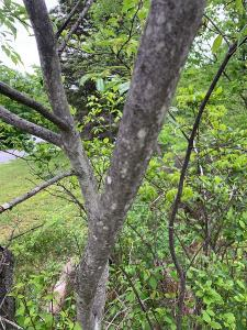Young Juneberry Trunk