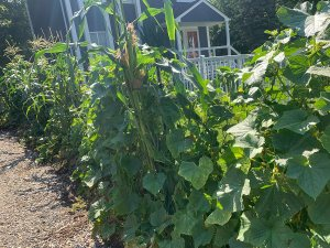 Three sisters: corn, beans, and cukes along the driveway